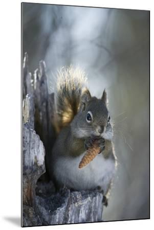 A Red Squirrel Holds a Pinecone-Michael Quinton-Mounted Photographic Print