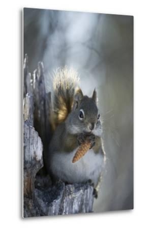 A Red Squirrel Holds a Pinecone-Michael Quinton-Metal Print