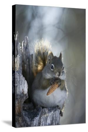 A Red Squirrel Holds a Pinecone-Michael Quinton-Stretched Canvas Print