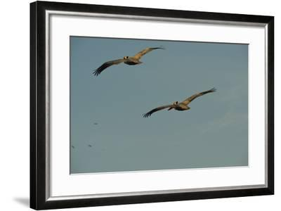 Brown Pelicans, Pelecanus Occidentalis, Soar Against a Blue Sky in Panama-Jonathan Kingston-Framed Photographic Print