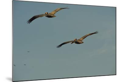 Brown Pelicans, Pelecanus Occidentalis, Soar Against a Blue Sky in Panama-Jonathan Kingston-Mounted Photographic Print