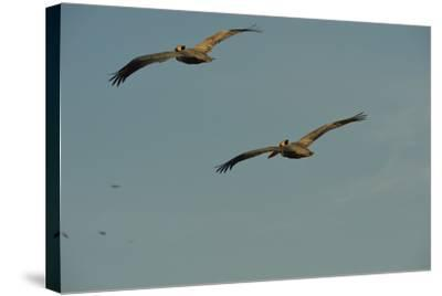 Brown Pelicans, Pelecanus Occidentalis, Soar Against a Blue Sky in Panama-Jonathan Kingston-Stretched Canvas Print