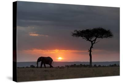 Silhouette of an African Elephants, Loxodonta Africana, Walking at Sunset-Sergio Pitamitz-Stretched Canvas Print
