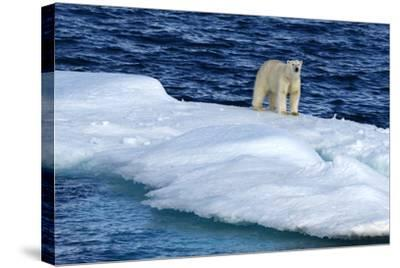Polar Bear, Ursus Maritimus, Standing on an Iceberg-Raul Touzon-Stretched Canvas Print