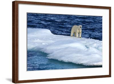 Polar Bear, Ursus Maritimus, Standing on an Iceberg-Raul Touzon-Framed Photographic Print