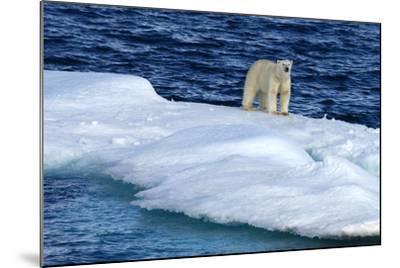 Polar Bear, Ursus Maritimus, Standing on an Iceberg-Raul Touzon-Mounted Photographic Print