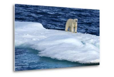Polar Bear, Ursus Maritimus, Standing on an Iceberg-Raul Touzon-Metal Print
