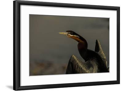 An African Darters, Anhinga Rufa, Spreading its Wings-Beverly Joubert-Framed Photographic Print