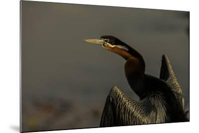 An African Darters, Anhinga Rufa, Spreading its Wings-Beverly Joubert-Mounted Photographic Print