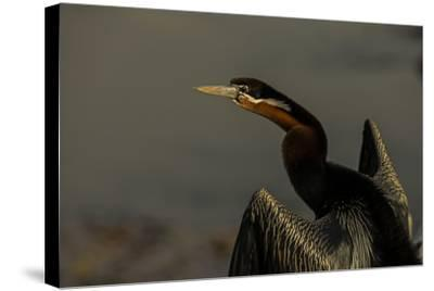An African Darters, Anhinga Rufa, Spreading its Wings-Beverly Joubert-Stretched Canvas Print