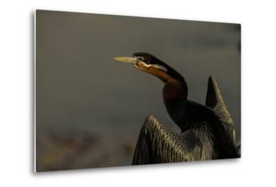 An African Darters, Anhinga Rufa, Spreading its Wings-Beverly Joubert-Metal Print