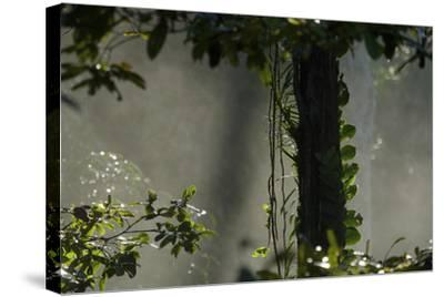 Early Morning Light in the Rain Forest of Halmahera Island, Indonesia-Timothy Laman-Stretched Canvas Print