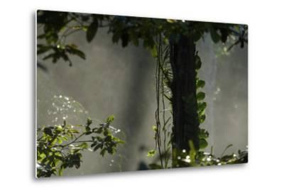 Early Morning Light in the Rain Forest of Halmahera Island, Indonesia-Timothy Laman-Metal Print