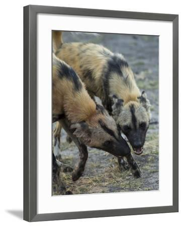 Two African Wild Dog, Lycaon Pictus, Fight and Spar with Each Other-Beverly Joubert-Framed Photographic Print