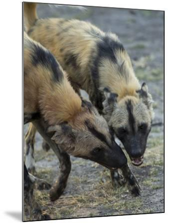 Two African Wild Dog, Lycaon Pictus, Fight and Spar with Each Other-Beverly Joubert-Mounted Photographic Print
