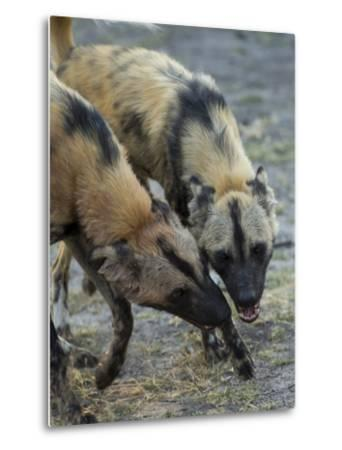 Two African Wild Dog, Lycaon Pictus, Fight and Spar with Each Other-Beverly Joubert-Metal Print