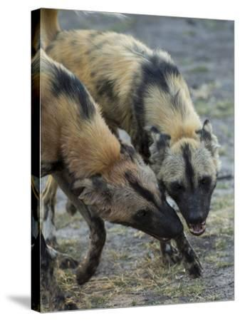 Two African Wild Dog, Lycaon Pictus, Fight and Spar with Each Other-Beverly Joubert-Stretched Canvas Print
