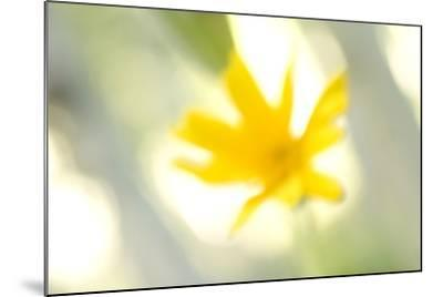 Abstract of Wildflower in Early Morning in the Inyo National Forest, California-Philip Schermeister-Mounted Photographic Print