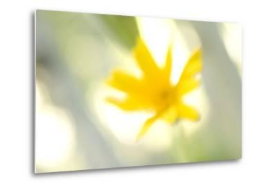 Abstract of Wildflower in Early Morning in the Inyo National Forest, California-Philip Schermeister-Metal Print