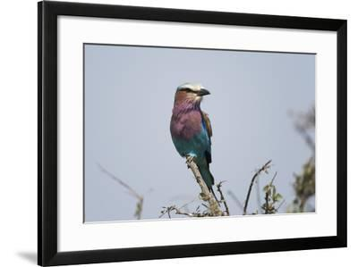 A Lilac-Breasted Roller, Coracias Caudata, Perched on the Branch of a Tree-Sergio Pitamitz-Framed Photographic Print