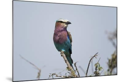 A Lilac-Breasted Roller, Coracias Caudata, Perched on the Branch of a Tree-Sergio Pitamitz-Mounted Photographic Print