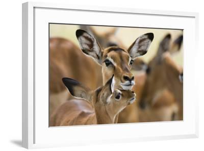 Portrait of a Female Impala with its Calf, Aepyceros Melampus-Sergio Pitamitz-Framed Photographic Print