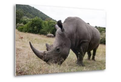 A White Rhinoceros, Ceratotherium Simum, in Masai Mara Rhino Sanctuary-Sergio Pitamitz-Metal Print