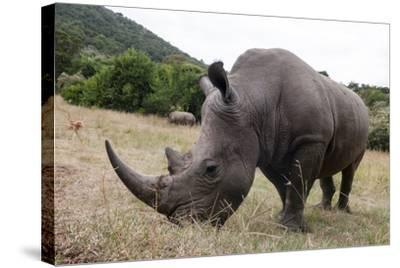 A White Rhinoceros, Ceratotherium Simum, in Masai Mara Rhino Sanctuary-Sergio Pitamitz-Stretched Canvas Print