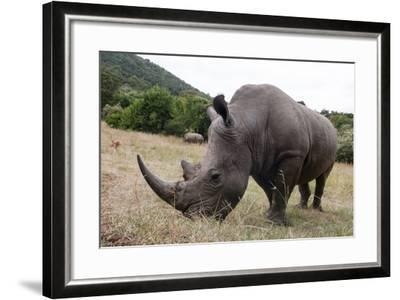 A White Rhinoceros, Ceratotherium Simum, in Masai Mara Rhino Sanctuary-Sergio Pitamitz-Framed Photographic Print
