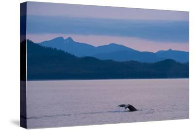 Humpback Whale in Stephens Passage-Michael Melford-Stretched Canvas Print
