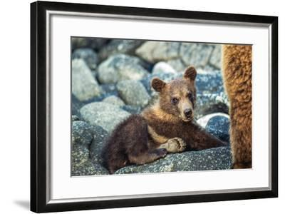 Brown Bear, Ursus Arctos, Cub Resting on a Rock in Katmai National Park and Preserve-Tom Murphy-Framed Photographic Print