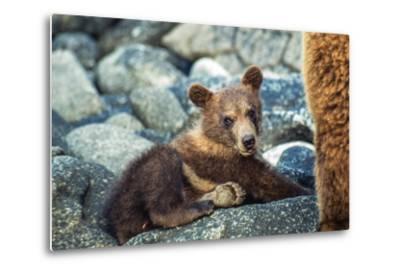 Brown Bear, Ursus Arctos, Cub Resting on a Rock in Katmai National Park and Preserve-Tom Murphy-Metal Print