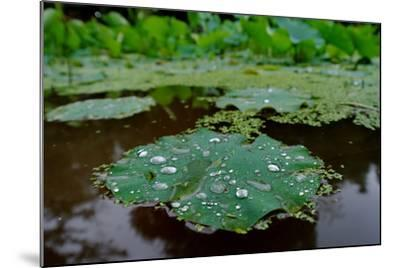 Water Drops on a Water Lily, Nymphaeaceae, Floating on Water-Tyrone Turner-Mounted Photographic Print