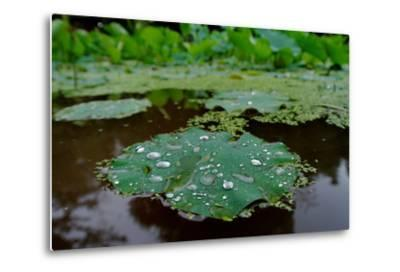 Water Drops on a Water Lily, Nymphaeaceae, Floating on Water-Tyrone Turner-Metal Print