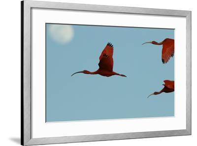 Scarlet Ibises Fly Though the Sky with the Moon Behind in Delta Amacuro, Venezuela-Timothy Laman-Framed Photographic Print