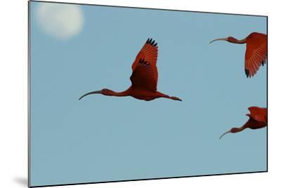 Scarlet Ibises Fly Though the Sky with the Moon Behind in Delta Amacuro, Venezuela-Timothy Laman-Mounted Photographic Print