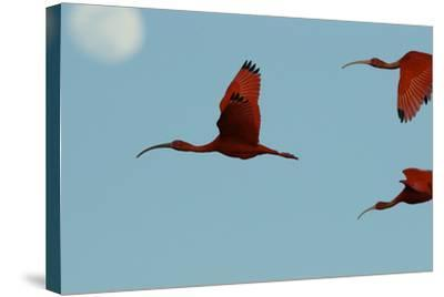 Scarlet Ibises Fly Though the Sky with the Moon Behind in Delta Amacuro, Venezuela-Timothy Laman-Stretched Canvas Print