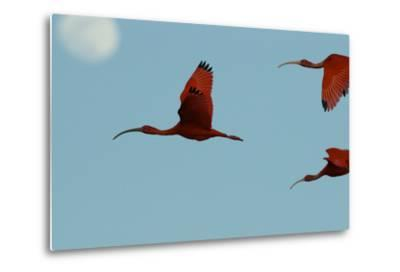 Scarlet Ibises Fly Though the Sky with the Moon Behind in Delta Amacuro, Venezuela-Timothy Laman-Metal Print