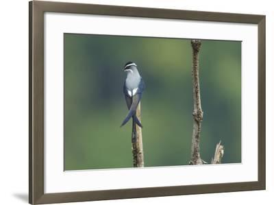 A Moustached Tree-Swift, Hemiprocne Mystacea, on a Perch in a Rain Forest Clearing-Timothy Laman-Framed Photographic Print