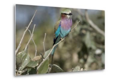 Lilac Breasted Roller, Upper Vumbura Plains, Botswana-Anne Keiser-Metal Print