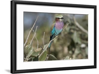 Lilac Breasted Roller, Upper Vumbura Plains, Botswana-Anne Keiser-Framed Photographic Print