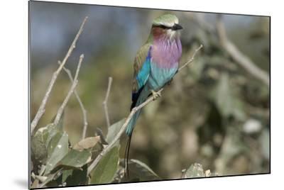Lilac Breasted Roller, Upper Vumbura Plains, Botswana-Anne Keiser-Mounted Photographic Print
