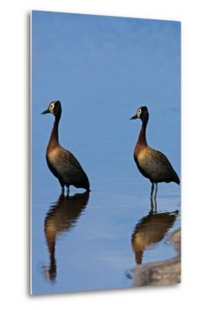 Two White-Faced Whistling Duck, Dendrocygna Viduata, at the Water's Edge-Beverly Joubert-Metal Print