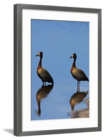 Two White-Faced Whistling Duck, Dendrocygna Viduata, at the Water's Edge-Beverly Joubert-Framed Photographic Print