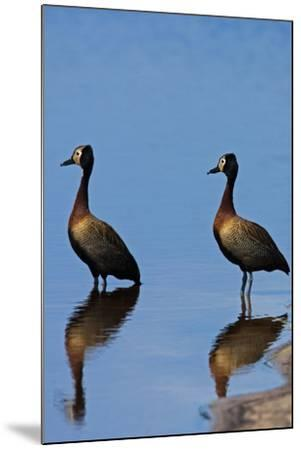 Two White-Faced Whistling Duck, Dendrocygna Viduata, at the Water's Edge-Beverly Joubert-Mounted Photographic Print