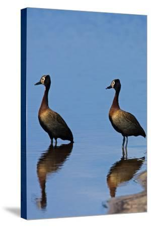 Two White-Faced Whistling Duck, Dendrocygna Viduata, at the Water's Edge-Beverly Joubert-Stretched Canvas Print