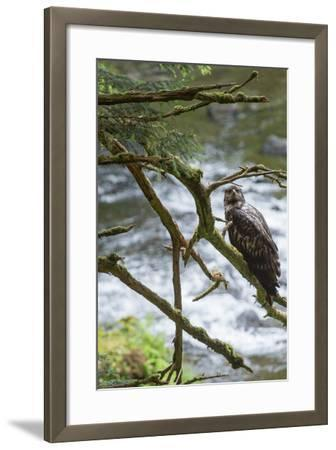 A Juvenile Bald Eagle, Haliaeetus Leucocephalus, Perches on a Branch-Erika Skogg-Framed Photographic Print