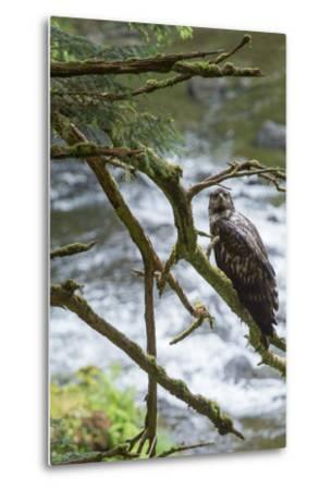 A Juvenile Bald Eagle, Haliaeetus Leucocephalus, Perches on a Branch-Erika Skogg-Metal Print