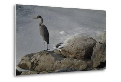 A Great Blue Heron, Ardea Herodias, on the Bank of the Potomac River-Tyrone Turner-Metal Print