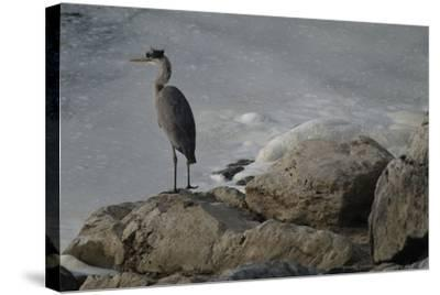 A Great Blue Heron, Ardea Herodias, on the Bank of the Potomac River-Tyrone Turner-Stretched Canvas Print